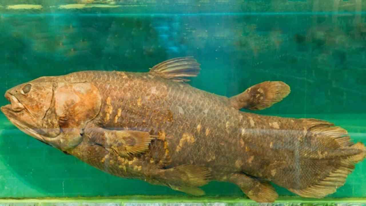Ikan Coelacanth merupakan ikan purba yang memiliki warna gelap, berukuran raksasa, dan bersisik tebal. (Foto/Canva).